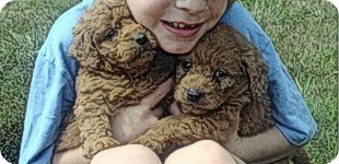 Labradoodle Images