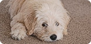 Labradoodle Puppy Pictures